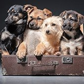Puppies in Suitcase